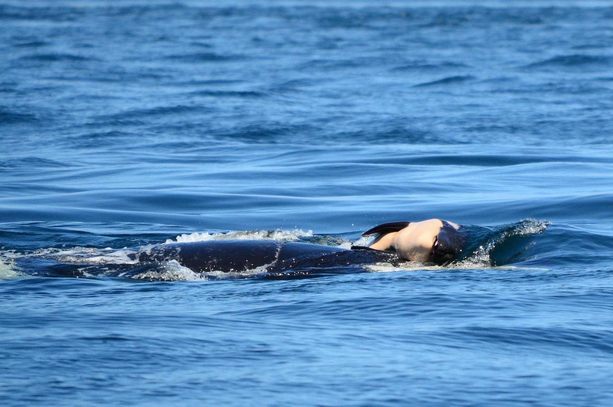 Orca with Dead Calf